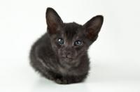 Picture of Peterbald kitten 5 weeks old