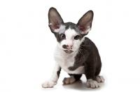 Picture of Peterbald kitten 8 weeks old, looking alert