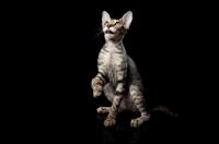Picture of peterbald kitten desiring something