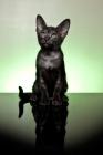 Picture of Peterbald kitten looking amazed