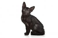 Picture of Peterbald kitten looking at camera, 10 weeks