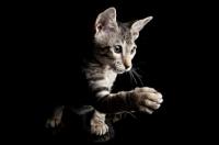 Picture of peterbald kitten shaking paw