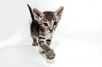 Picture of peterbald kitten walking toward camera