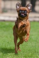 Picture of Petit Griffon Brabancon, running