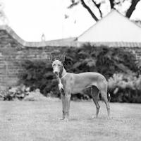 Picture of pharaoh hound in garden