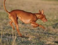Picture of Pharaoh Hound running