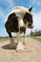 Picture of piebald horse in field, looking away