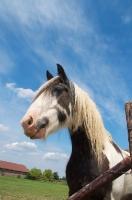 Picture of piebald horse portrait