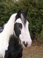 Picture of Piebald horse, portrait