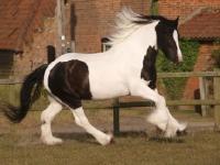 Picture of Piebald horse running