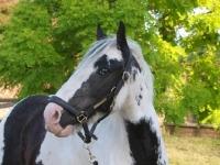 Picture of Piebald horse