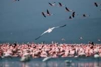Picture of Pink Flamingos on Lake Naivasha in Kenya