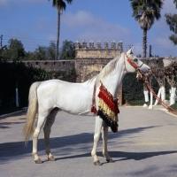 Picture of Piramide, Moroccan Arab stallion full body