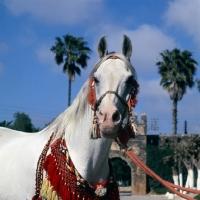 Picture of Piramide, Moroccan Arab stallion head study