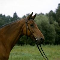 Picture of piruette, swedish warmblood