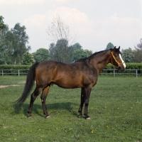 Picture of Polish Arab stallion full body