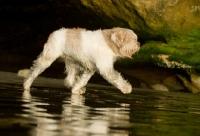Picture of Polish Lowland Sheepdog (aka polski owczarek nizinny) walking on beach