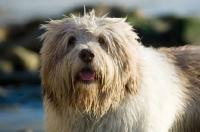 Picture of Polish Lowland Sheepdog (aka polski owczarek nizinny) looking at camera