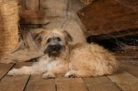 Picture of Polish Lowland Sheepdog (aka Polski Owczarek Nizinny)