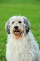 Picture of Polish Lowland Sheepdog portrait
