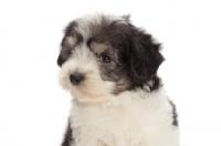 Picture of Polish Lowland Sheepdog puppy, portrait