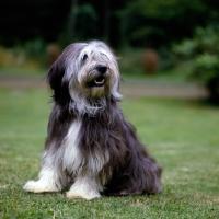 Picture of polish lowland sheepdog sitting on grass, megsflocks