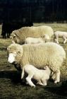 Picture of poll dorset cross ewe with lamb suckling in flock