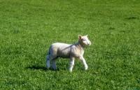 Picture of poll dorset cross lamb walking in field
