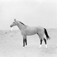 Picture of polotli, famous akhal teke stallion at ashkhabad stud farm