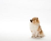 Picture of Pomeranian (aka dwarf spitz, german miniature spitz, zwergspitz, pommie) puppy