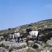Picture of ponies on Dartmoor on rocks
