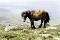 Picture of pony on dartmoor, not pure bred dartmoor pony