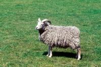 Picture of portland ewe