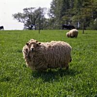 Picture of portland sheep at norwood farm looking at camera