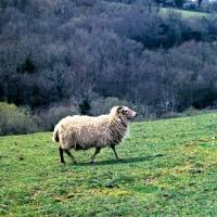 Picture of portland sheep walking on hillside
