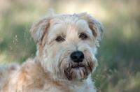 Picture of Portrait of a Wheaten Terrier lying in long grass