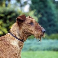 Picture of portrait of irish terrier