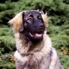 Picture of portrait of sarplaninac, yugoslavian sheepdog,