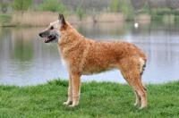 Picture of posed Laekenois (Belgian Shepherd)