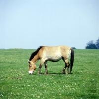 Picture of przewalski horse grazing