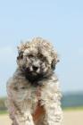 Picture of puli puppy, rare fawn colour