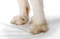 Picture of Pyrenean Mastiff feet
