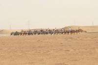 Picture of racing camel training in Dubai desert