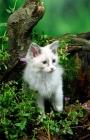 Picture of ragdoll kitten amongst greenery