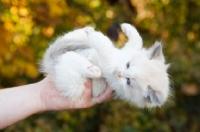 Picture of ragdoll kitten being held