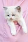 Picture of Ragdoll kitten in pocket