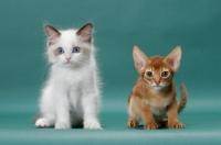 Picture of Ragdoll kitten next to Sorrel (Red) Abyssinian kitten
