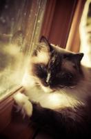 Picture of Ragdoll near window