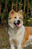 Picture of rare Thai Bangkaew dog
