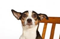 Picture of Rat terrier, portrait